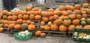 Pumpkins at Llynclys Hall Farm